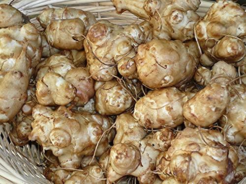 5 Jerusalem Artichoke Tubers for Planting or Eating