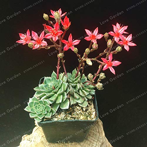 Bloom Green Co. Tacitus Bellum Sukkulenten Bonsai 100 Stk/Packung Mini-Kaktus-Pflanzen Suculentas Mini Bonsaipflanzen Bonsai für Hausgarten-Anlagen