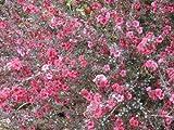 Leptospermum scoparium NUEVA ZELANDA semillas del...