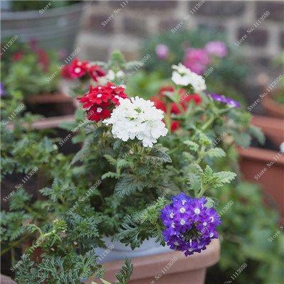 Verbena hybrida Graine verveine Hortensis Bonsai Flowr semences Balcon intérieur Plantes jardin Fleurs colorées Woodland 100 Pcs 3