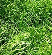 Annual Ryegrass Seed (Gulf, Diploid) - 5 Pound - Wizard Seed LLC
