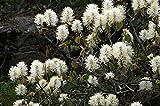 Erlenblättriger Federbuschstrauch Fothergilla gardenii...