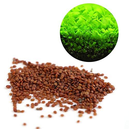 Semillas de Plantas Acuáticas Hemianthus Callitrichoides - Mini Leafs Fácil de Cultivar Decoración para Tanque de Peces Acuario Pond (Size : S)