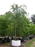 50 semillas del árbol de olmo chino