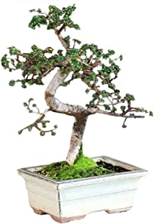 9GreenBox - 10 Year Old Chinese Elm Bonsai with 8