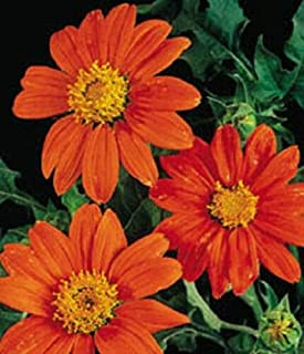 50 Seeds Sunflower Tithonia Rotundifolia Mexican #MRB01