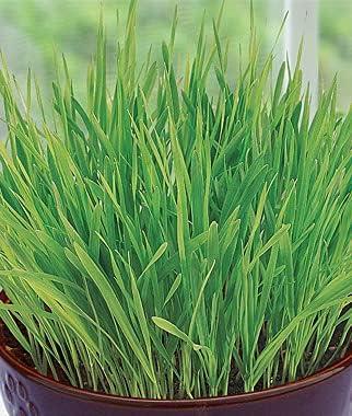 Rare Elwyn 90pcs Grass Plant famous Seeds