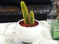 サボテン ミニ 黄金紐 観葉植物 鉢植え インテリア ホワイトラウンドポット