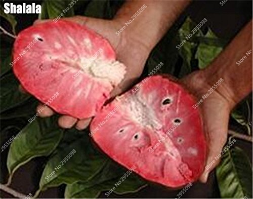 15pcs/sac Heirloom sucre Graines Succulent ANNONA Squamosa comestible tête Fruit de Bouddha Jardin Custard Planta Easy Grow 8