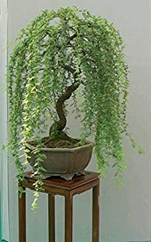 Bonsai Green Weeping Willow Tree Cutting - Thick Trunk Start A Must Have Dwarf Bonsai Material Ships from Iowa USA