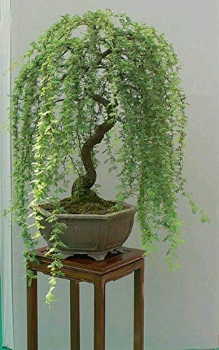 Bonsai Green Weeping Willow Tree Cutting - Thick Trunk Start, A Must Have Dwarf Bonsai Material. Ships from Iowa, USA