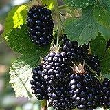 50 Stück Himbeersamen Selten Einfach zu kultivierende Fruchtsamen für den Garten -...