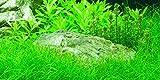 Mühlan Wasserpflanzen 3 Bunde Nadelsimse, Eleocharis Acricularis, Rasen