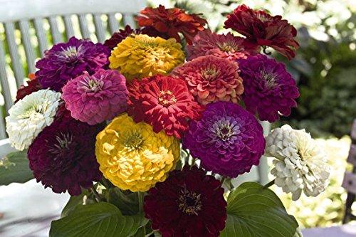 25 Zinnia Seeds - BENARY'S GIANT FORMULA Mix Color -Fresh Cut Flower Seeds -