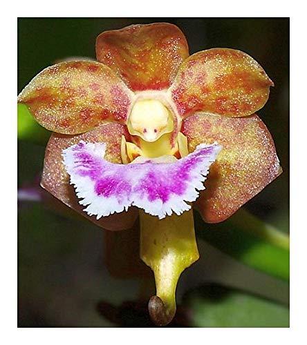 Aerides flaellata - orchidée rose - 100 graines