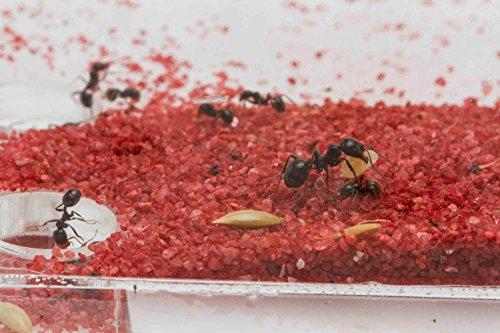 AntHouse Fourmiliere Ant Farm 20x10x1 (Fourmis et Reine gratuites)