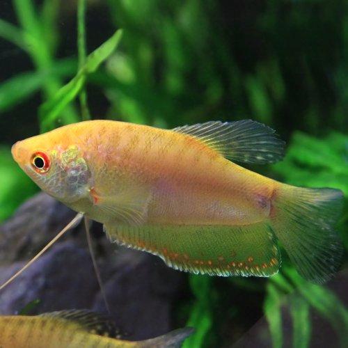 (熱帯魚)ゴールデングラミー(約4cm)<3匹>[生体]