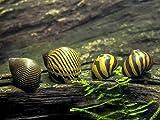 Aquatic Arts 5 Live Zebra Nerite Snails | Aquarium Substrate Clearer/Nano Tank Filter | Safe with Betta/Tetra/Guppy Fish