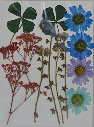 handi-kafu Veri fiori secchi pressati, margherita, gipsofila, myosotis