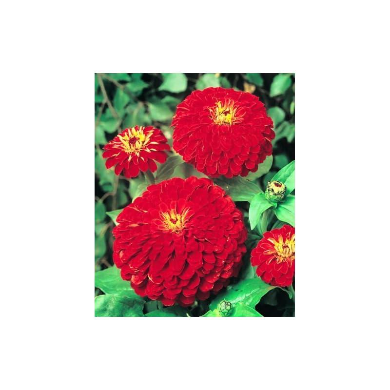 silk flower arrangements (100pcs seeds) red zinnia seeds, cherry queen, heirloom zinnia seeds, non-gmo flower seed, 7100ct