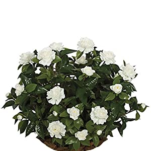 SilksAreForever 28″ UV-Proof Outdoor Artificial Gardenia Flower Bush -White (Pack of 2)
