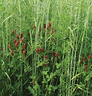 David's Garden Seeds Cover Crop Green Manure Fall YS2613 (Multi) Open Pollinated One Pound Package