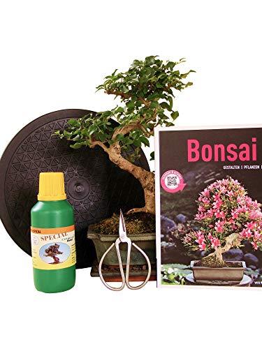 Anfänger Bonsai-Set Liguster - 6 teilig - ca. 30 cm hoher Liguster, 1 Schere, 1 Untersetzer, 1 Arbeitsdrehteller, 1 Flasche Dünger, 1 Bonsaibuch