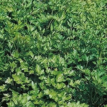 SANHOC Samen-Paket: Samen - Petersilie Plain Leaf - SEED
