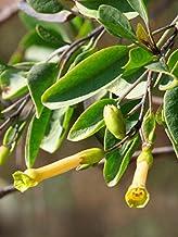 500 Samen Baumtabak Strauchtabak Nicotiana glauca Blaugrüner Tabak ca