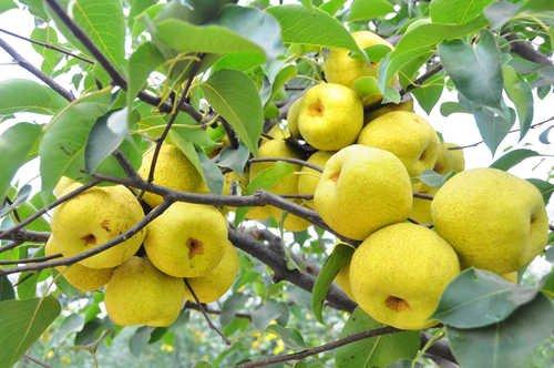 fruits de poire de qualité en gros d'or de graines de poire empochée stock adéquat du Nord et du Sud 50 graines/Pack 8