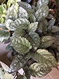 "Red Flame Hemigraphis Swedish Ivy Pflanze In 4"" Pot"