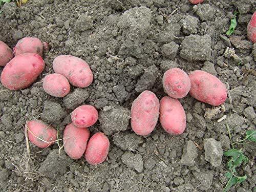 名手農園 淡路島産 訳あり 小さい赤じゃがいも(レッドムーン) 販売中 2021年産 5kg 期間限定で販売中!