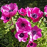 10 x 'Sylphide' Corms (Anemone coronaria) (to Plant Yourself) Free UK Postage