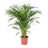 Choice of Green - Areca Dypsis Palma o oro pianta della camera in vaso di coltivatori ?21 cm-altezza ? 100 cm