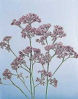 limonium perezii seeds