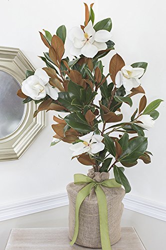 Southern Magnolia Tree for Sale