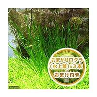 (水草)スクリューバリスネリア(5株+おまかせロタラ3本おまけ) 北海道航空便要保温