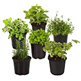 The Three Company Live 3.5' Herbs (Rosemary, Oregano, Lavender, Thyme, Eucalyptus, Parsley, Lemon Balm), 6 Per Pack (Grower's Assortment)