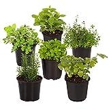 The Three Company Live 3.5' Herbs (Rosemary, Oregano, Lavender, Sage, Thyme, Basil, Parsley, Lemon Balm), 6 Per Pack (Grower's Assortment)