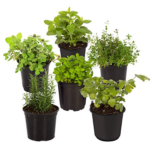 The Three Company 4' Assorted Herbs (6 Per Pack) (Rosemary, Lavender, Thyme, Chamomile, Lemon Balm), Aromatic and Edible