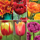 Tulips! Purchase from anywhere