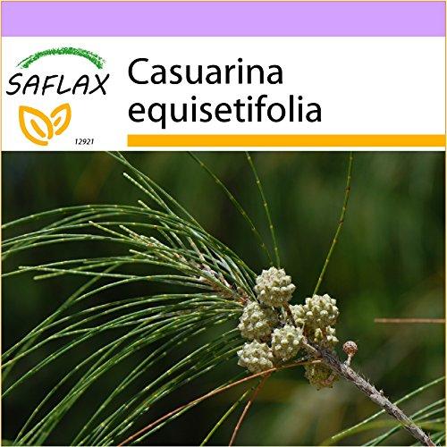 SAFLAX - Filao - 200 graines - Casuarina equisetifolia