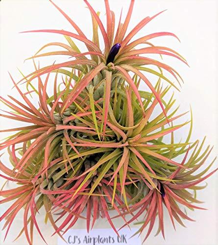 Tillandsia Ionantha 'Rot' Luft Pflanze X 3