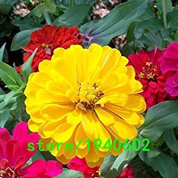 Vente chaude Jaune Zinnia Seeds Balcon Cour pot Bonsai Zinnia Elegans Graines de fleurs Graines de fleurs des plantes 100 PCS