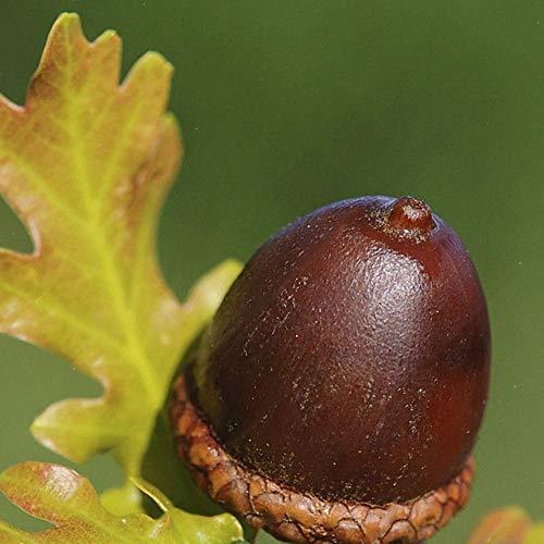 FinukGo 10 Teile/paket Eiche Samen Pflanzen Samen Große Eiche Samen Einfach Suiviving Baum Samen für Hoeme Yard-Zufällig