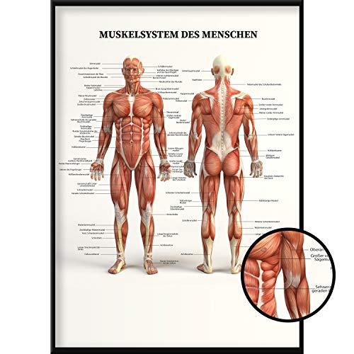 Calias® Premium Anatomie Poster DIN A1 | Plakat Muskulatur und Körper des Menschen | Lehrtafel und Lernposter für Medizin