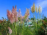 """200+ Pink Pampas Grass Seeds Cortaderia Selloana Ornamental Flower Garden Plants PLANT SEEDS: When soil temp warms to 70F; BLOOM TIME: Late Summer HARDINESS ZONE: 7 - 10; PLANT HEIGHT: 96 - 144""""; PLANT SPACING: 24 – 36"""" LIGHT REQUIREMENTS: Sun – Part..."""