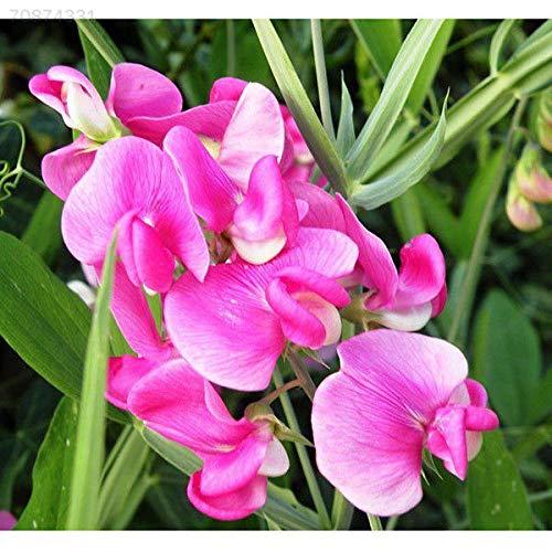 Portal Cool A7Aa 25pcs Sweet Pea ODORATUS Everlasting Lathyrus Graines Jardin Semences Liv extérieur