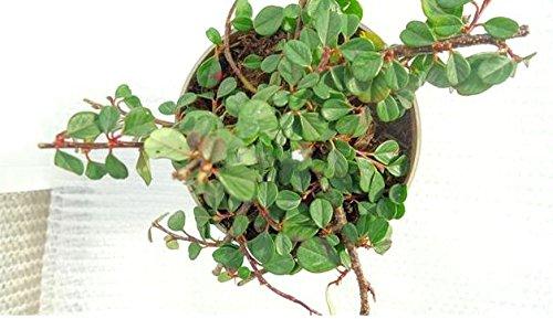 Bodendecker Kriechmispel - Cotoneaster procumbens Streibs Findling - 15-25cm im Ø 11cm Topf (10)