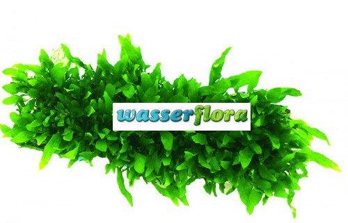 WFW wasserflora Green-Floor Schmalblättriges Javafarn/Microsorum Minor auf Matte ca. 40x130 mm
